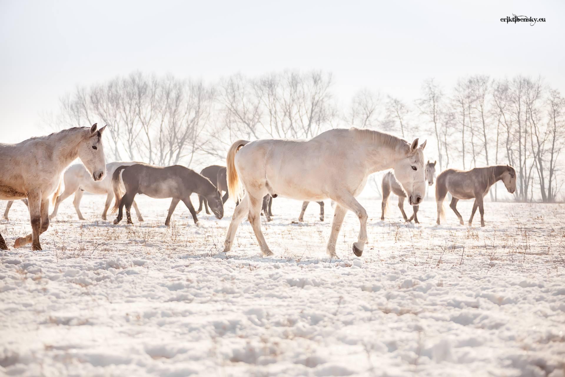 www.eriktibensky.eu-fotograf-kone-wild-horses-photography-1000