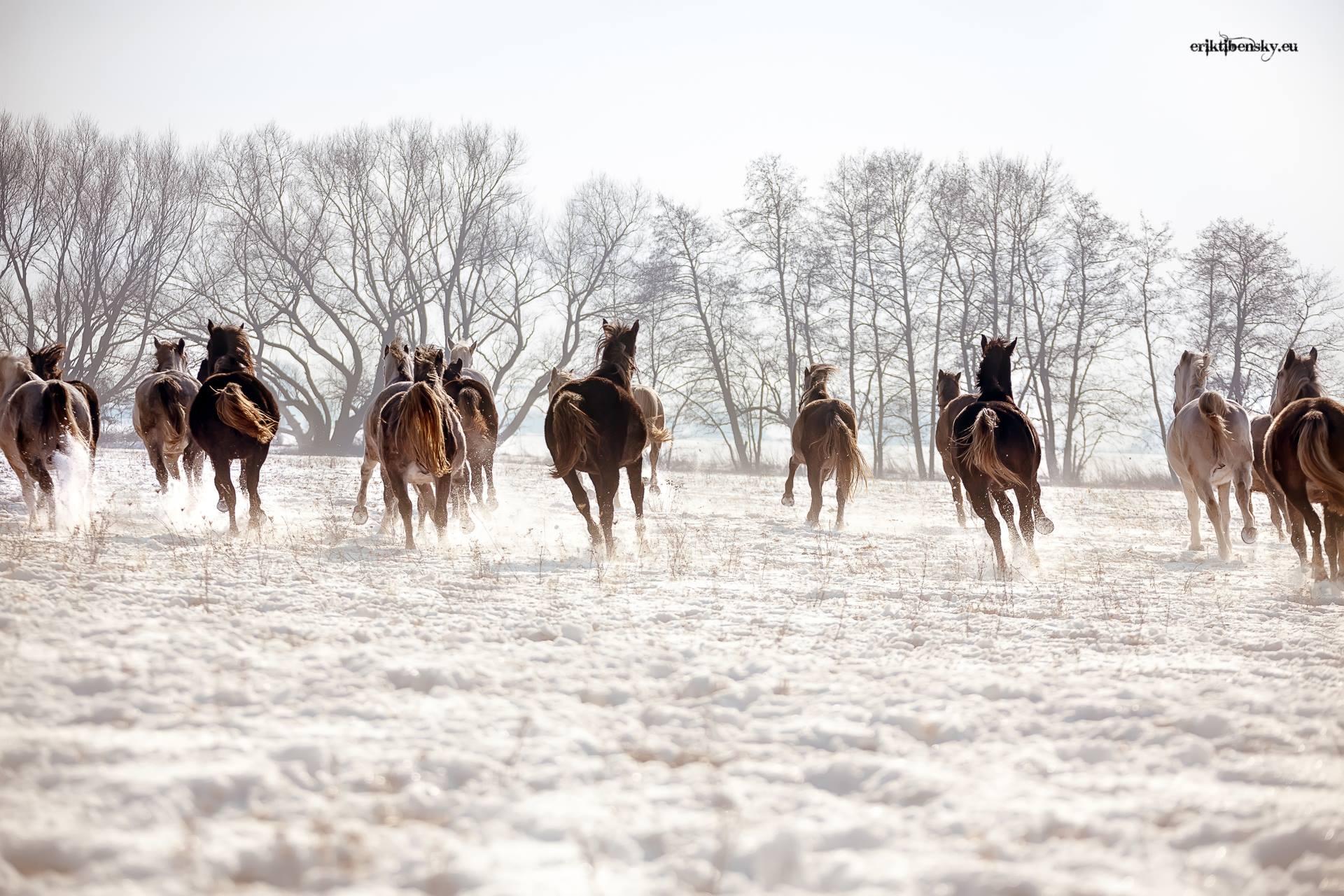 www.eriktibensky.eu-fotograf-kone-wild-horses-photography-1001