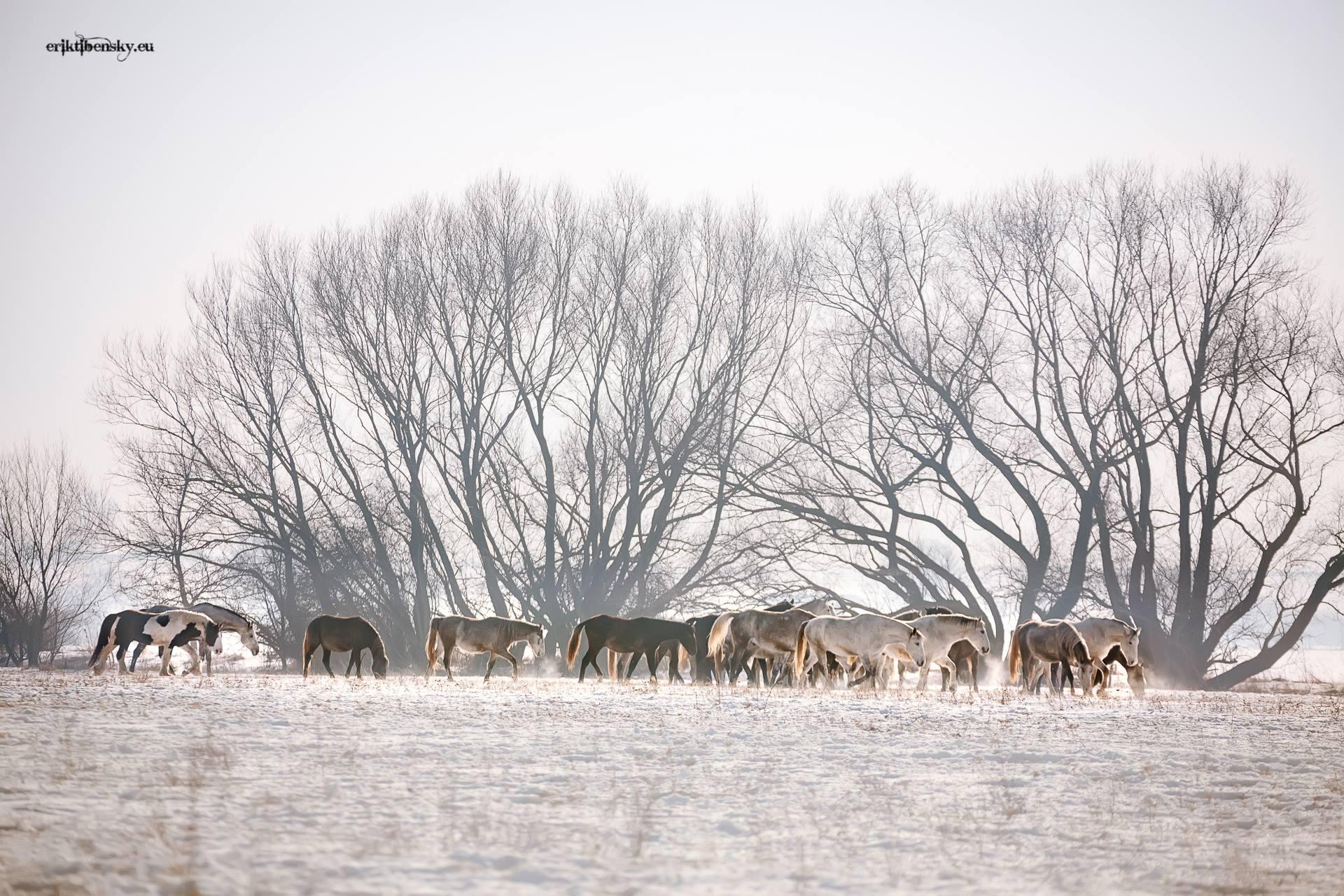 www.eriktibensky.eu-fotograf-kone-wild-horses-photography-1002